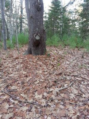 Tree Sparks a Story Idea