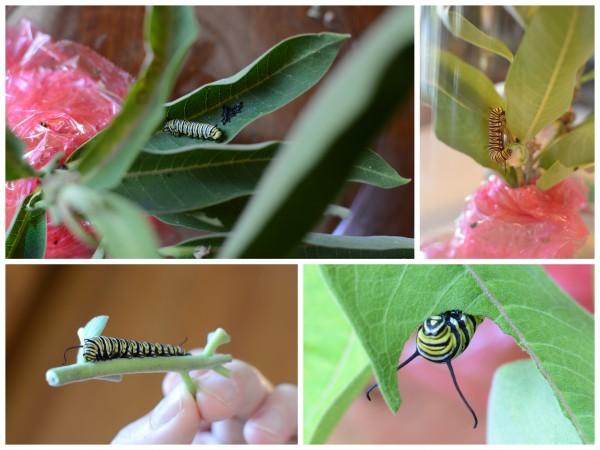 Caterpillars Growing Collage