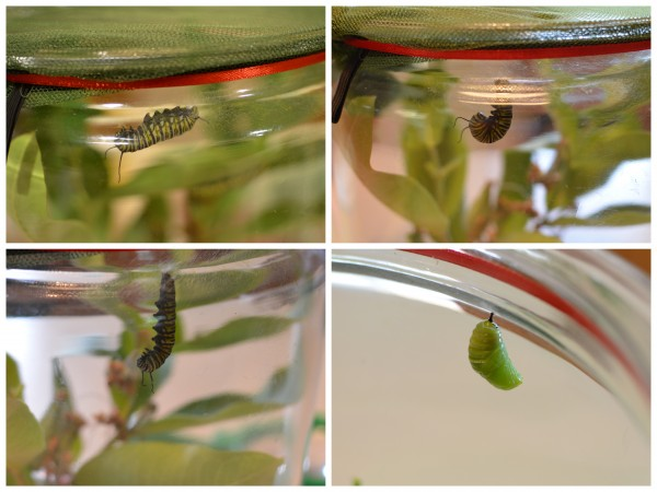 First Caterpillar into Chrysalis Collage