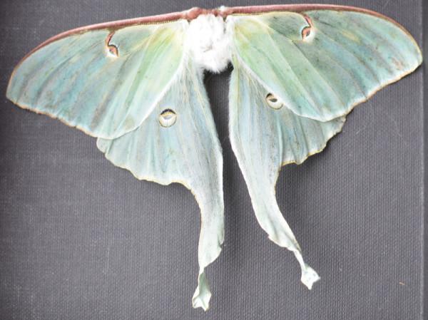 Luna Moth Specimen